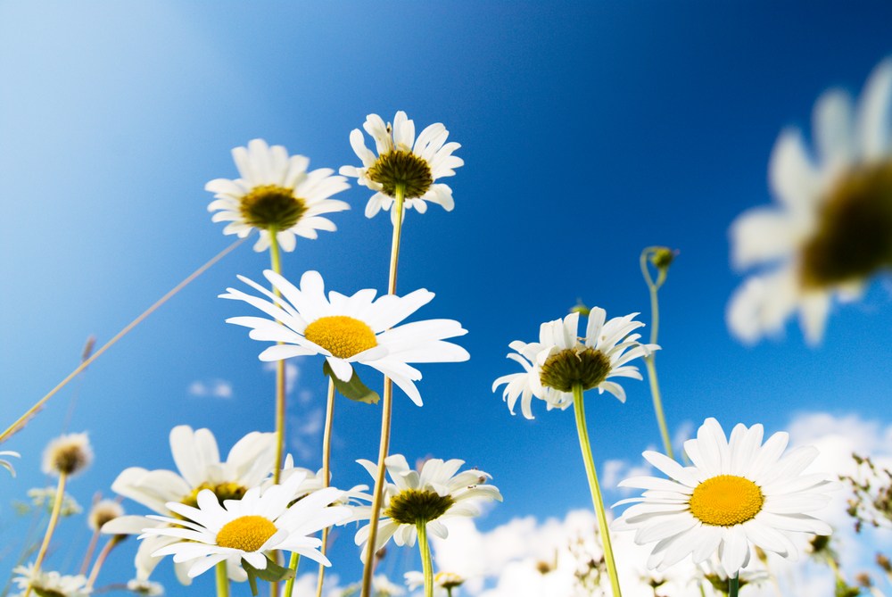 daisy flowers and summer blue sky